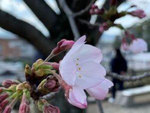 松坂城址の桜